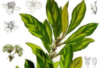 laurus_nobilis_-_kohlers_medizinal-pflanzen-086-maly.jpg