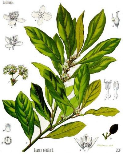 laurus_nobilis_-_kohlers_medizinal-pflanzen-086.jpg
