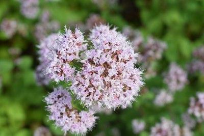 Detail květu Oregána