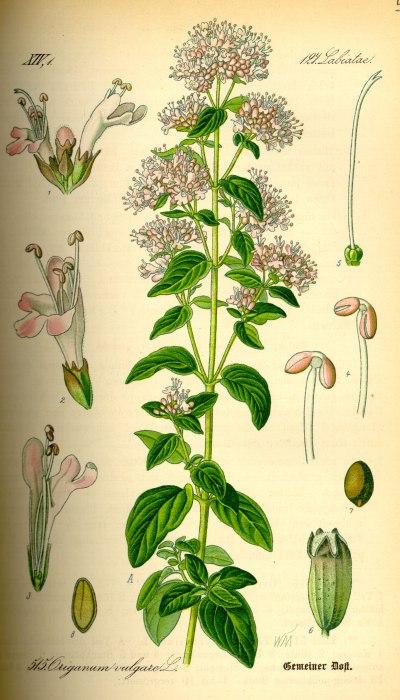 Rostlina Oregáno