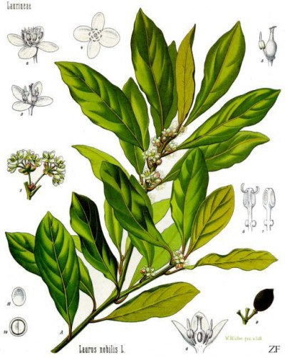 Bobkový list - Rostlina