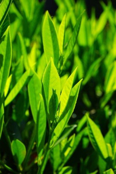 Mladý bobkový list
