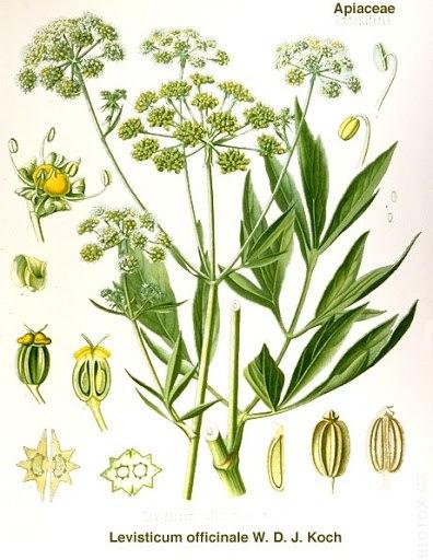 Libeček - Rostlina