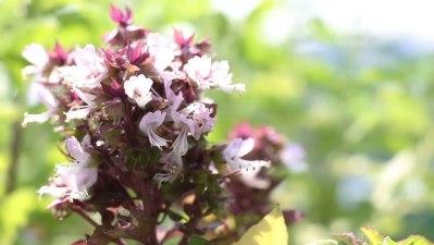 Květ bazalky