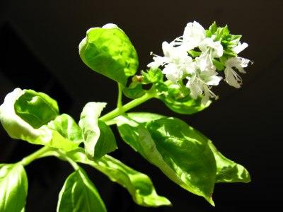 Bazalka pravá - květ