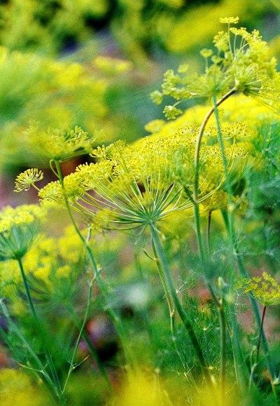 Kvetoucí kopr