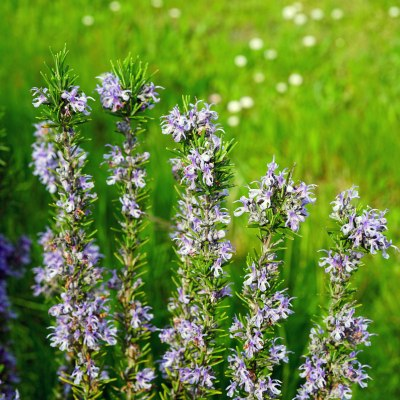 Kvetoucí rozmarýn ve volné přírodě