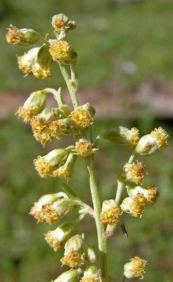 Květ pelyňku