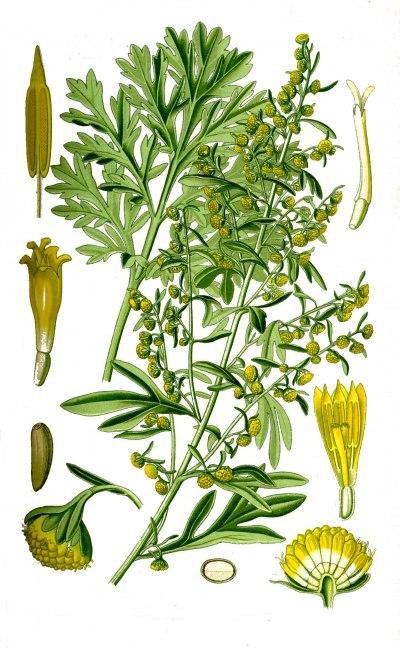 Pelyněk Pravý - Artemisia absinthium